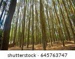 pine forests  hutan pinus ... | Shutterstock . vector #645763747