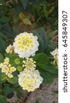 Small photo of White Lantana camara flowers. It is a small perennial shrub with smalls tubular shaped flowers which each have four petals. Type: Angiosperms. Eudicots. Asterids Lamiales. Verbenaceae