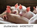 Piglets In The Farm