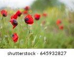 poppy in the field. beautiful... | Shutterstock . vector #645932827