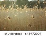 a field of tall grass  back lit ... | Shutterstock . vector #645972007