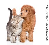 Playful Cat And Poodle Puppy...