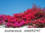 Bougainvillea In Full Bloom...