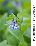 delicate  virginia bluebells ... | Shutterstock . vector #646305967