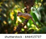 Small photo of Spectacled Barwing (Actinodura ramsayi) bird. Beautiful birds. White eyes birds.