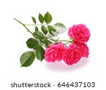 pink roses isolated on white... | Shutterstock . vector #646437103