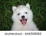 Stock photo close up of siberian husky puppy 646508083