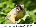 squirrel monkey in a tree with... | Shutterstock . vector #646511323