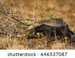 honey badger in kruger national ... | Shutterstock . vector #646537087
