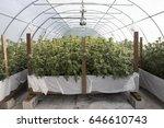 cannabis grow | Shutterstock . vector #646610743