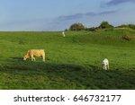 cows grazing on grassy green... | Shutterstock . vector #646732177