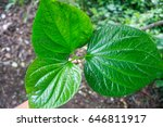 wildbetal leafbush