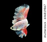 Small photo of Halfmoon Betta on black background. Beautiful fish. Swimming flutter tail flutter.
