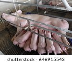 mommy pig and her piglets ... | Shutterstock . vector #646915543