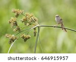 Small photo of Clamorous reed warbler acrocephalus stentoreus perched on plant stem in rural countryside outdoor scene