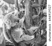 Small photo of Australian koala outdoors in a eucalyptus tree.