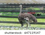 Big Ostrich Behind The Fence.