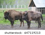 Small photo of Two large brown bison on the forest background. Two bulls with big horns on the background of the ferma. Bestial gang. Belarus, Bialowieza Forest Reserve.