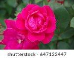 red rose flower closeup | Shutterstock . vector #647122447