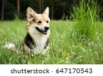 happy and active purebred welsh ... | Shutterstock . vector #647170543