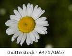 White Daisy Flower Isolated