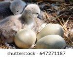 Newborn Cygnets Sitting In The...