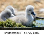 Cygnets Sitting In A Tub Of...