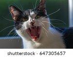 Short Hair Tuxedo Cat Yawning...