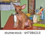 Small photo of Dwarf Pinscher Lady Marie