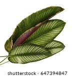 calathea ornata  pin stripe... | Shutterstock . vector #647394847