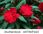 Impatiens Glandulifera Flowers...