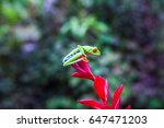 red eyed tree frog is ready to... | Shutterstock . vector #647471203