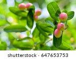 "thai fruit ""carandas plum"" in... | Shutterstock . vector #647653753"