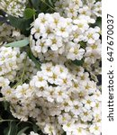 Small photo of spiraea wallpaper. white spiraea flowers. rustic spring spiraea flowers
