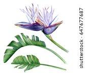 strelitzia nicolai. gorgeous... | Shutterstock . vector #647677687