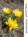 Small photo of Pheasants Eye (Adonis vernalis) Koktebel, Crimea