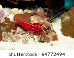 Blood or Fire Shrimp on Coral Reef - stock photo