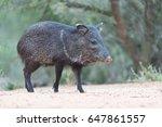 javelina or skunk pigs drinking ... | Shutterstock . vector #647861557