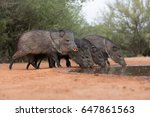 javelina or skunk pigs drinking ... | Shutterstock . vector #647861563