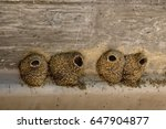 Mud Nests Of Cliff Swallows...