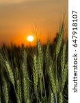 wheat | Shutterstock . vector #647918107