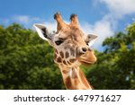 Front On View Of A Giraffe...