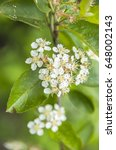Small photo of Aronia in full bloom and almost already faded.