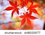 Red Leaves In Japan