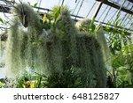 Spanish Moss  Tillandsia...