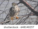 Small photo of Immature Sharp Shinned Hawk (Accipiter striatus) Perched on a Limb