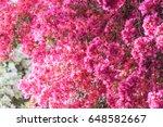 Bush Of  Pink Bougainvillea In...