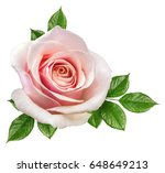 rose isolated on the white... | Shutterstock . vector #648649213