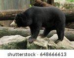 Malayan Sun Bear Stand Up On A...
