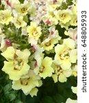 Small photo of Botanical name:Antirrhinum Common names: snap dragons, snapdragon or dragon flowers